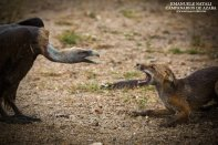 Vulture vs Fox