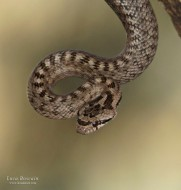 Southern smooth snake (Coronella girondica)