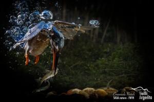 Kingfisher scuba