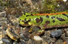 Triturus pygmaeus