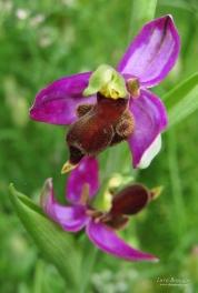 Ophrys apifera var. almaracensis
