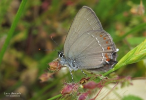 False Ilex Hairstreak (Satyrium esculi)