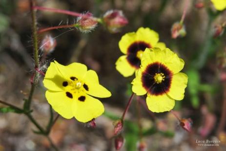 Rockroses (Halimium sp. & Tuberaria guttata)