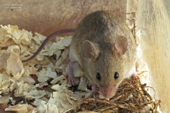 Algerian Mouse (Mus spretus)