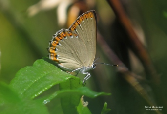Spanish Purple Hairstreak (Laeosopis roboris)
