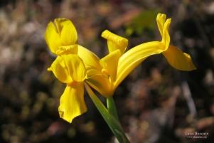 Portuguese Iris (Iris lusitanica)