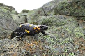 Fire Salamander (Salamandra salamandra bejarae)
