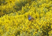 Luscinia svecica azuricollis